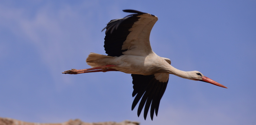 A stork on the wing